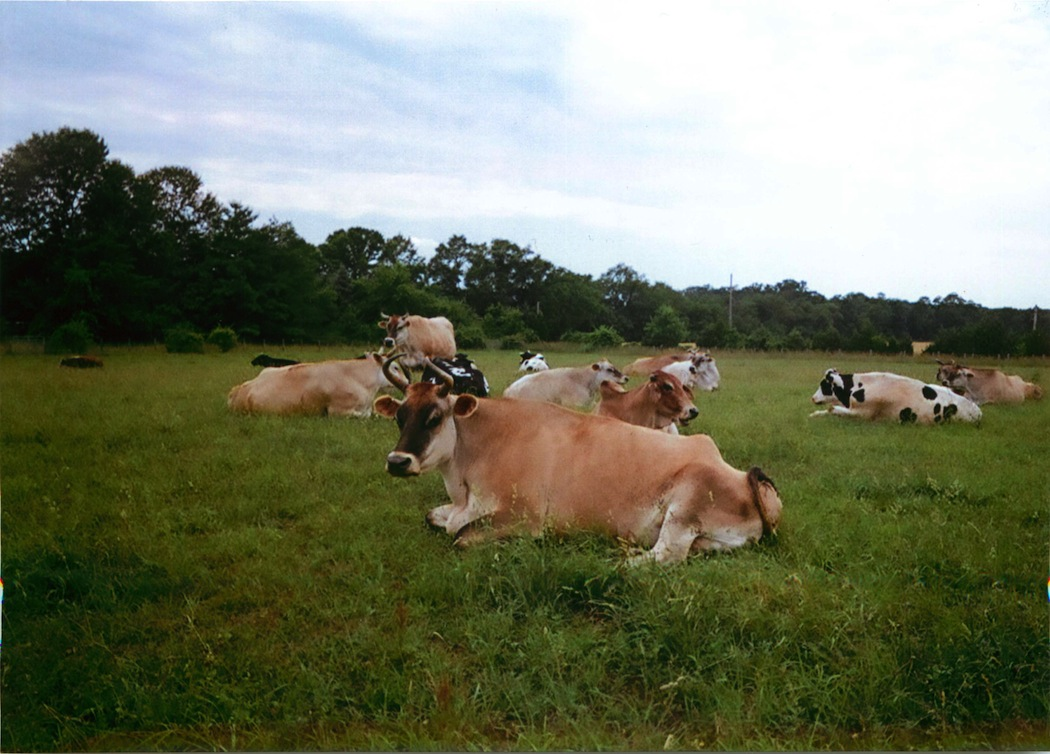 The North Carolina herd and the Hop Bottom cows together