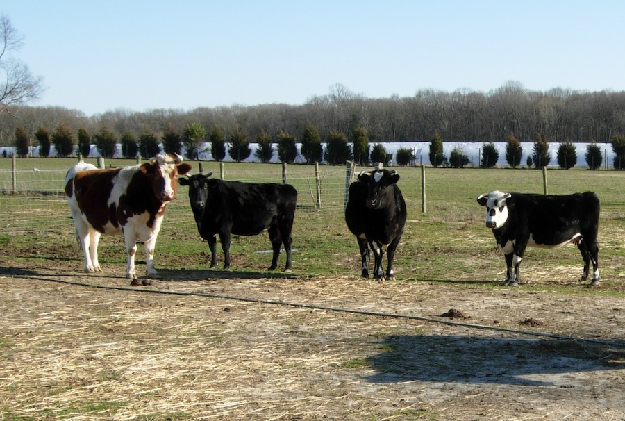 Some of the Hop Bottom cows